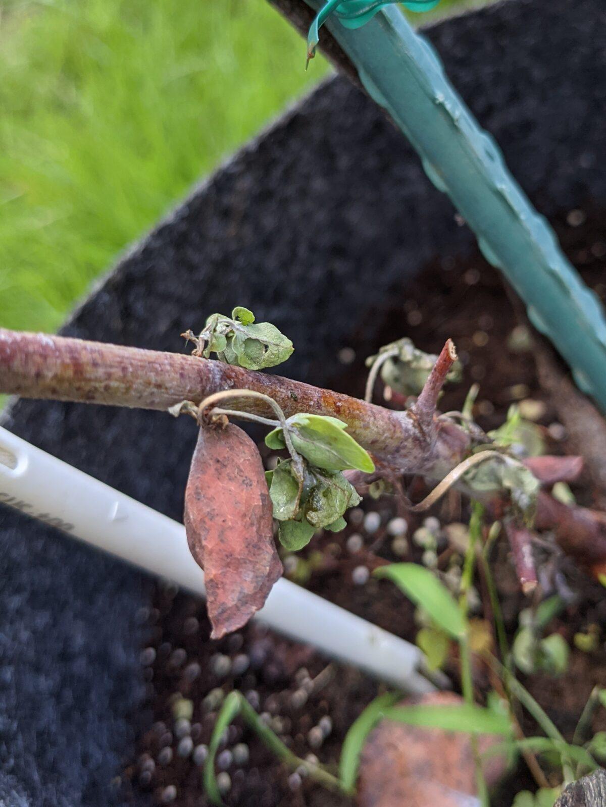 枯れたユーカリから出た芽が枯れました。やっぱりダメだったか…いやまてよ…?